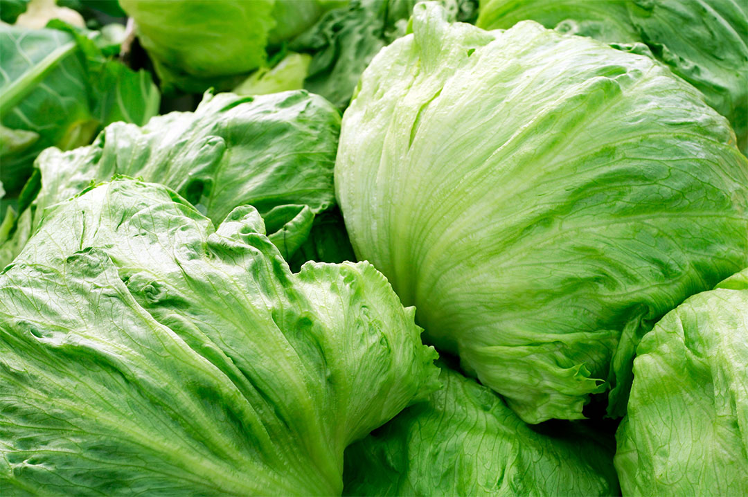 Zoom sur les vari t s de salades for Eliminer les vers des salades