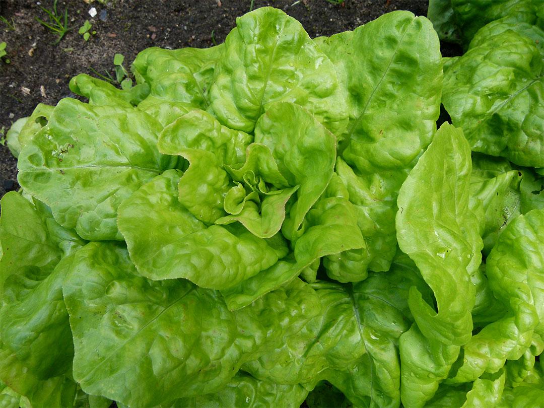 Zoom sur les vari t s de salades for Ver de la salade