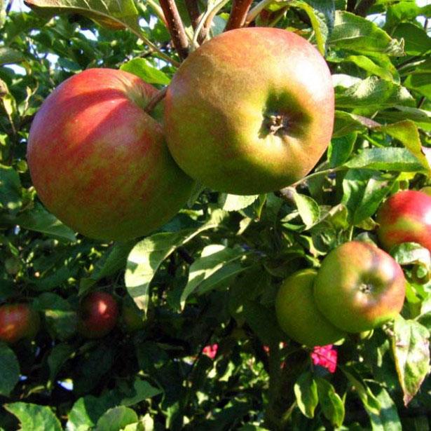 C'est l'automne, croquez la pomme (et la poire) !