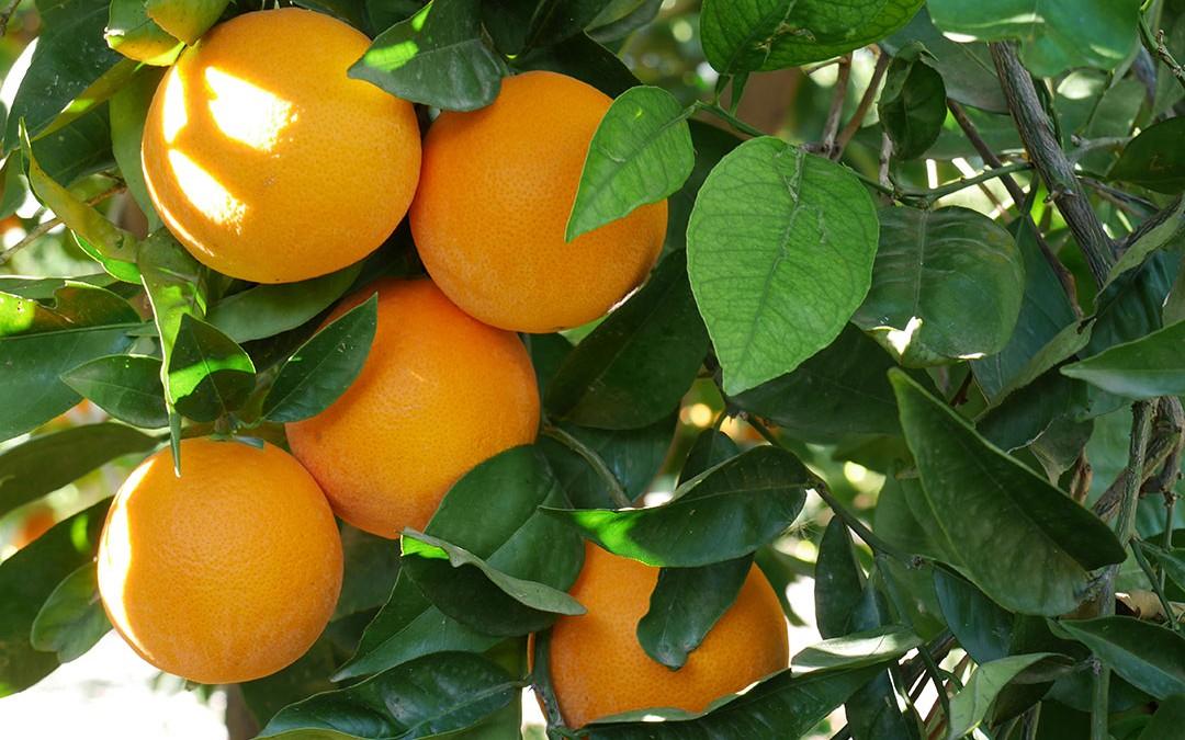 Les oranges d'Alexandra sont là !