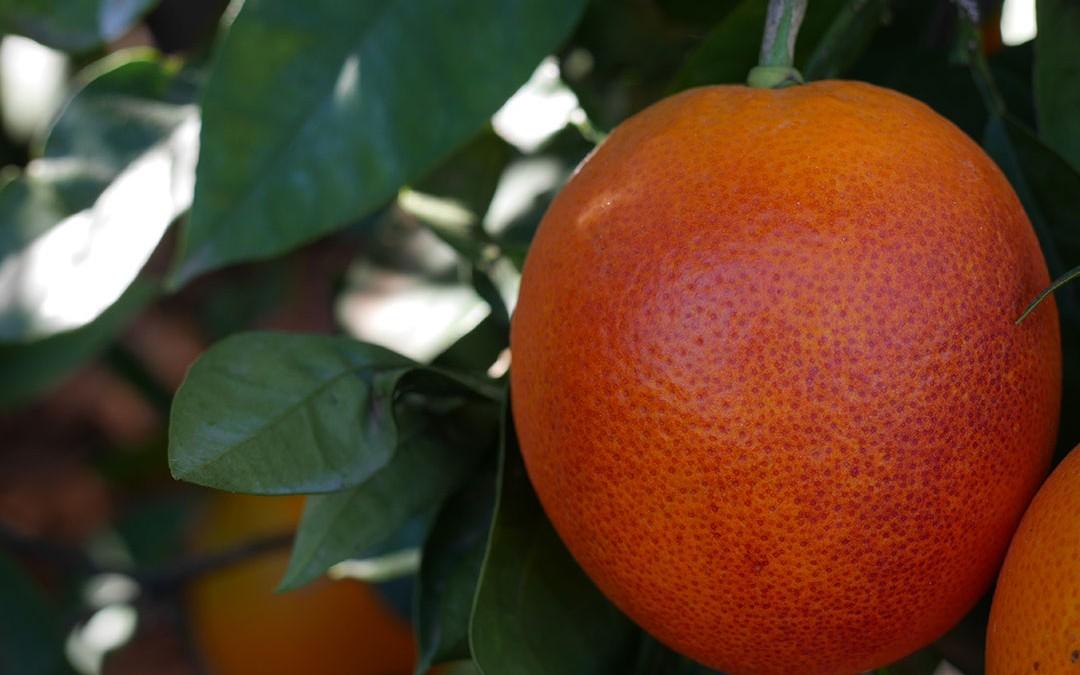 Les oranges sanguines arrivent !