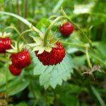 fraise des bois