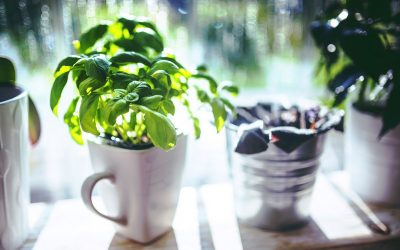 Comment faire pousser du basilic en ville ?